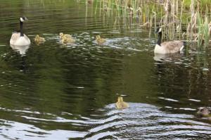 Det er nå fem nye birdier som svømmer i dammen